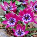 Тюльпан ботанический Little Beauty (Литл Бьюти), 4 луковицы в упаковке