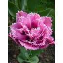 Тюльпан бахромчатый, махровый Matchpoint (Матчпойнт), 3 луковицы в упаковке