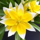 Тюльпан ботанический Tarda Dasystemon (Тарда Дасистемон), 5 луковиц в упаковке
