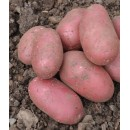 Семенной картофель Алюэтт