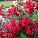 Скарлет Мейяндекор (Scarlet Meillandecor), почвопокровная роза