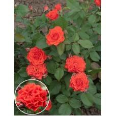 роза Бранд Пикси (Brand Pixie), флорибунда
