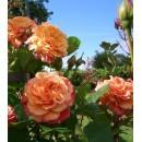 """Алоха (Aloha), плетистая роза, Kordes, ТМ """"Декоплант"""", Киев"""