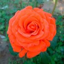 Анжелика (Angelica), Чайно-гибридная роза