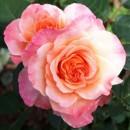 Августа Луиза (Augusta Louise), чайно-гибридная роза