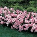 Авеню  Лайонс (Avenue Lions), полиантовая роза