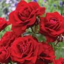 Авеню Ред (Avenue Red), полиантовая роза