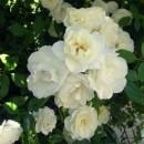 Авеню Уайт (Avenue White), полиантовая роза