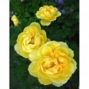 Авеню Йеллоу (Avenue Yellow), полиантовая роза