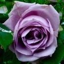 Блю Мун (Blue Moon), чайно-гибридная роза
