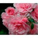 Боника (Bonica), полиантовая роза