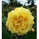 Казино (Casino), плетиста троянда