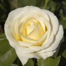Шопен (Chopin), чайно-гибридная роза