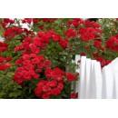 Дон Жуан (Don Juan), плетистая роза