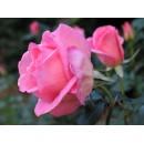Эйфель Тауэр, Чайно-гибридная роза