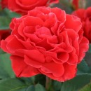 Ель Торо (El Toro) чайно-гибридная роза