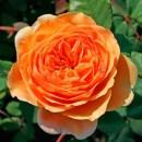 Экскалибур (Excalibur) английская роза, флорибунда
