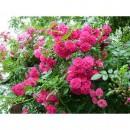 Фемели Пинк (Family Pink), плетистая роза