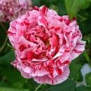 Фердинанд Пичард, Чайно-гибридная роза
