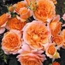 Джинджер Силлабаб (Ginger Syllabub), английская  плетистая роза в контейнере