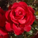 Гранд Аморе (Grande Amore), чайно-гибридная роза, Kordes
