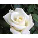 Айсберг, флорибунда роза