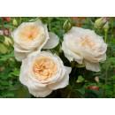 Лайонс Розе (Lions Rose), Флорибунда, Kordes
