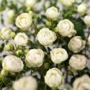 Морсдаг Уайт (Morsdag White), полиантовая роза