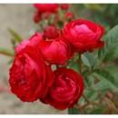 Морсдаг Ред (Morsdag Red), полиантовая роза
