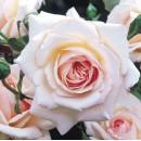Пенни Лейн (Penny Lane), английская плетистая роза, в контейнере 3 л.