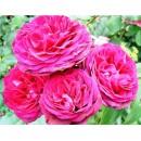 Пинк Мушимара (Pink Musimara), плетистая роза