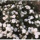 Сиа Фом (Sea Foam),  почвопокровная роза