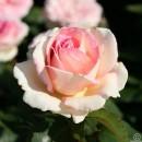 Сувенир Де Баден-Баден (Souvenir de Baden-Baden), чайно-гибридная роза, Kordes