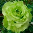 Супер Грин, Чайно-гибридная роза