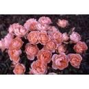 Свит Дрим (Sweet Dream), почвопокровная роза