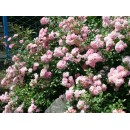 Зе Фейри (The Fairy) почвопокровная роза