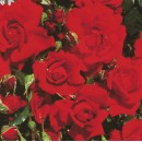 Плетистая английская  роза Зе Принцесс Траст (The Princes Trust)
