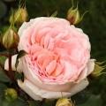 Роза Мэрхенцаубер (Marchenzauber), флорибунда, Kordes