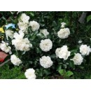 Вайт Мейдиланд (White Meidiland), почвопокровная роза