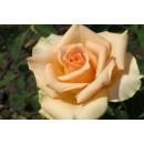 Версилия  (Versilia), Чайно-гибридная роза