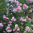 Виолет Парфюм (Violette Parfumeе), плетистая роза