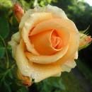 Версилия (Versilia) чайно-гибридная роза