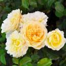 Роза Лемон Ваза (Lemon Vaza), флорибунда