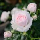 Роза Аспирин (Aspirin), флорибунда