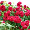 Фемели Ред (Family Red), плетистая роза