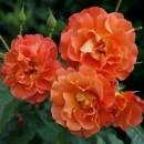 Вестерленд (Westerland), парковая роза