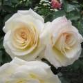 Шнеевальцер (Schneewalzer), плетистая роза