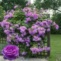 Индиголетта (Indigoletta), плетистая роза