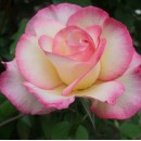 Фемели Свит (Family Sweet), плетистая роза