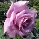 Блю Мун (Blue Moon Cl.), плетистая роза